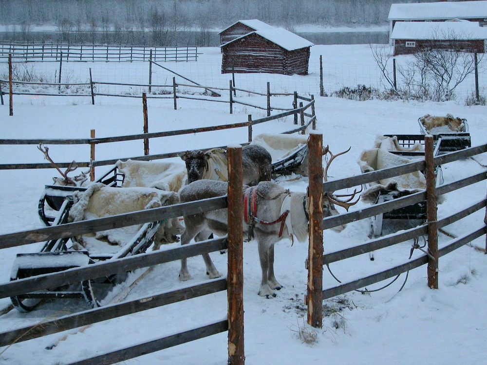 Domestic animal farm in Lapland
