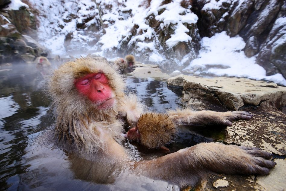 Japanese Snow Monkey in Shiga Kogen