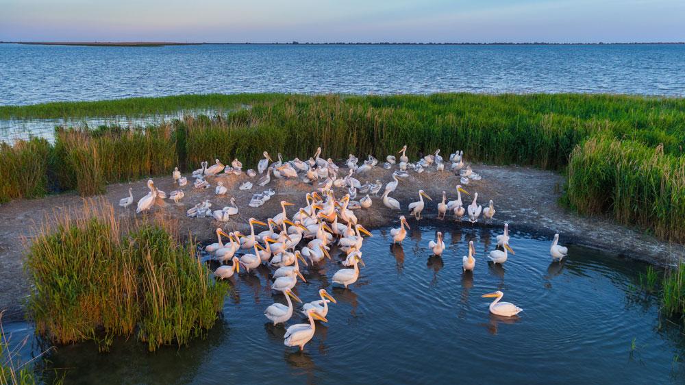 White pelicans in the Danube Delta