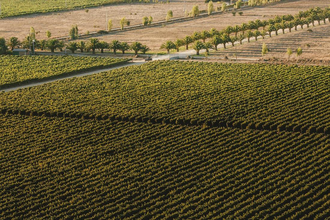 Vineyard in Casablanca, Chile
