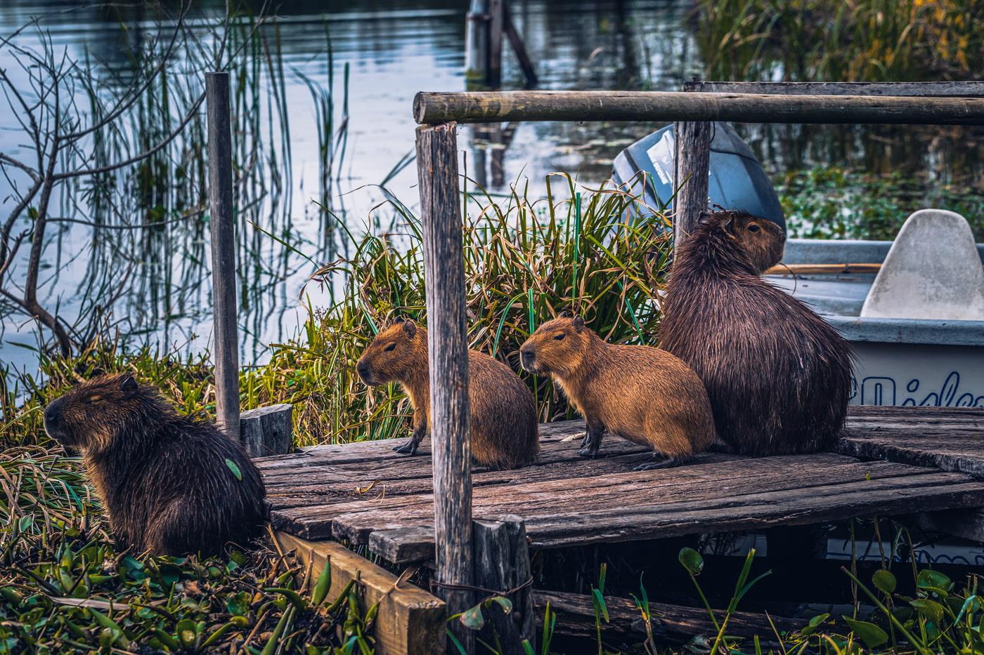 Capybaras in the Iberá Wetlands